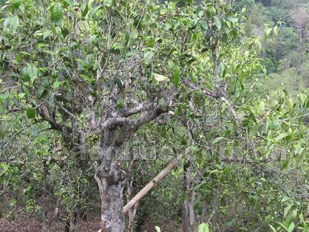 """在清代史籍中有莽枝或革登有茶王树的记载,《普洱府志》载:""""莽芝有茶"""