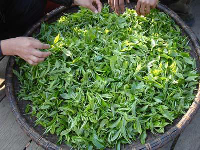 【普洱专栏】图解传统普洱茶的制作工艺