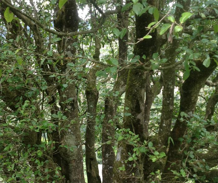 现栽培型最老古茶树生病了