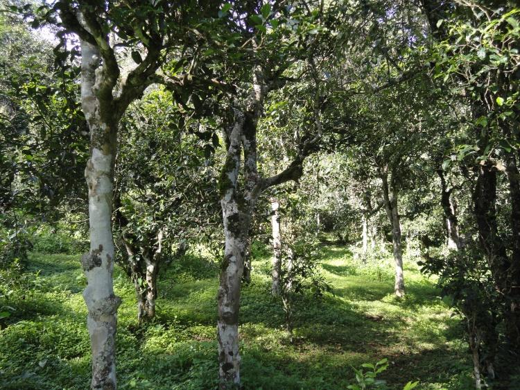 景迈古茶树