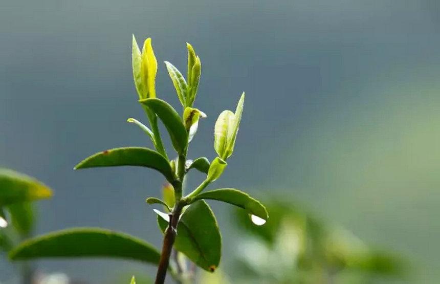 """茶叶中的各种""""青""""   """"青""""字在茶叶中反复出现,即使对茶有一定积累的人,也不一定能完全搞明白,更遑论初接触茶的茶友们,今天八一八茶叶中的各种""""青""""。   茶青    有叫茶菁,茶鲜叶等,就是茶树鲜叶   不管是手工采摘的单芽、一芽一叶等细嫩的,还是开面叶、对夹叶等成熟的,用来制作茶叶的原料的统称。   杀青    茶叶制作的专业术语   功用上类似于家里炒青菜,道理一样一样的,散失掉水分,散失掉绝大部分青草气,保留一部分就成了茶的"""
